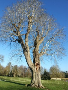 No 1: Parks and Green spaces Lydiard  - walnut tree at Lydiard Park