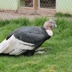 A condor