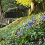 Bluebells on bank