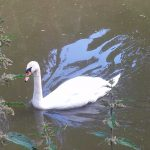 Swan on water - nature in swindon