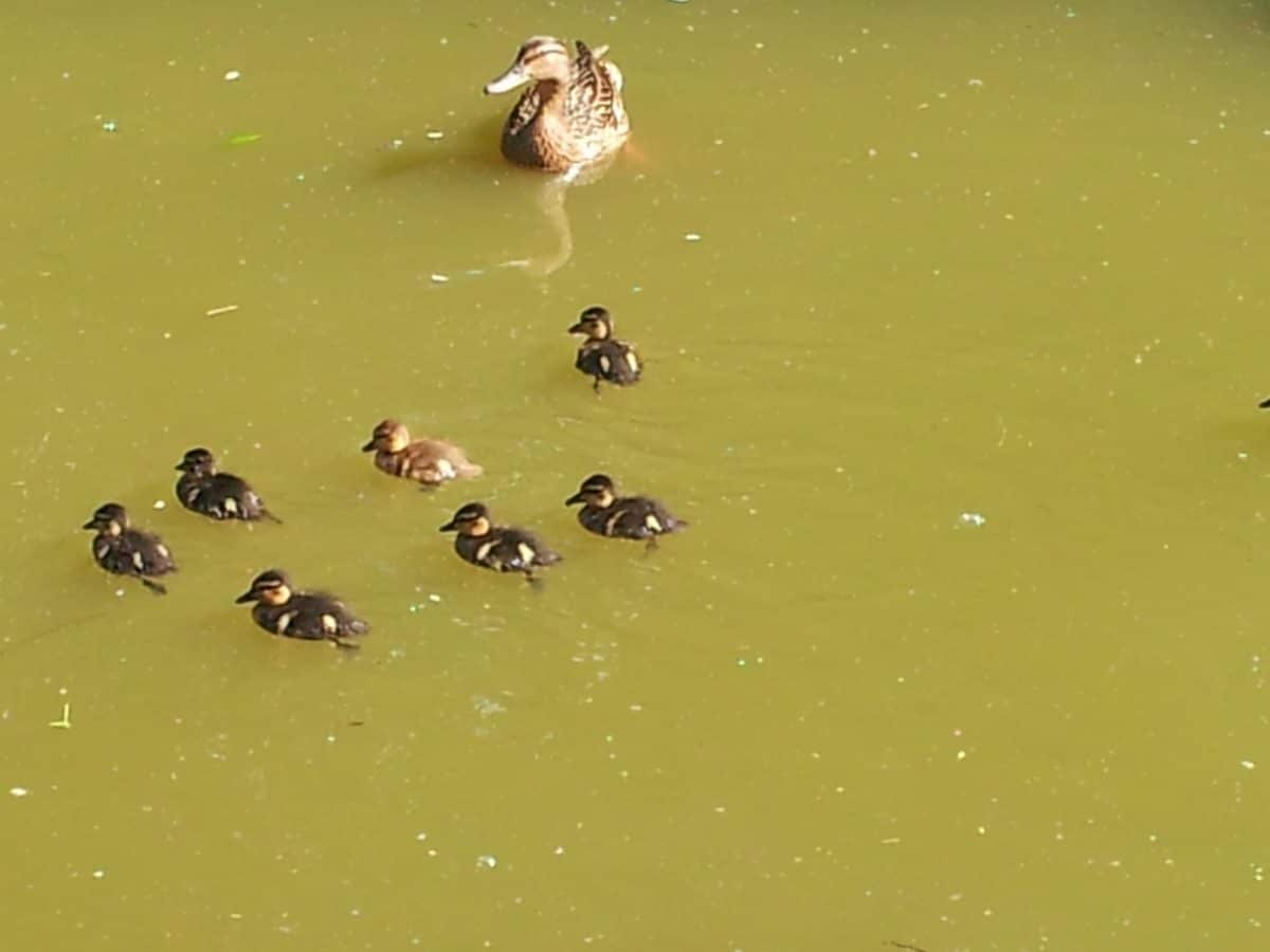 Duck and ducklings swimming