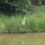 Heron standing on water's edge
