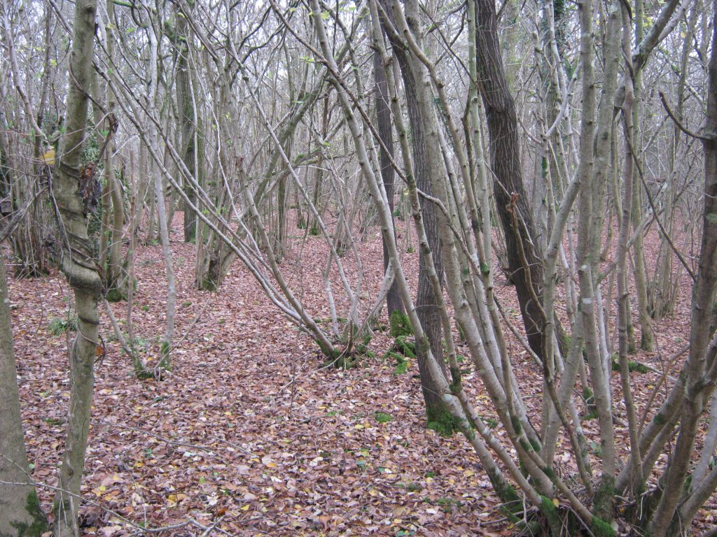 5-year-coppice -