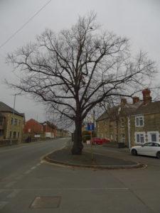 Tree on Ermin street Swindon showing the split where Sgt Barbeau's Spitfire hit it.