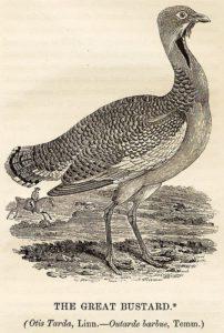 Thomas Bewick woodcut of the great bustard